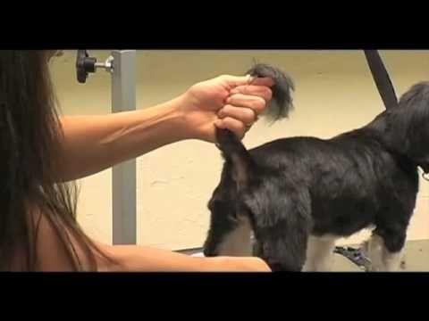 shih tzu haircut tutorial